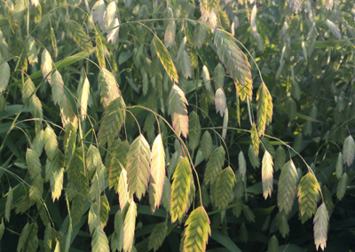 northern sea oats